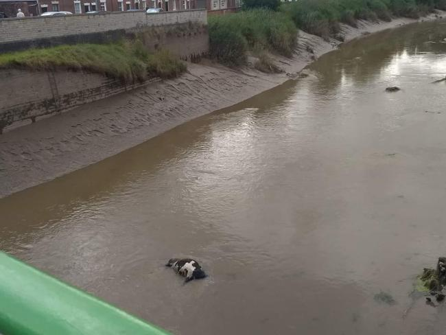 STUCK: The cow in the River Parrett (Picture: Brian Smedley)