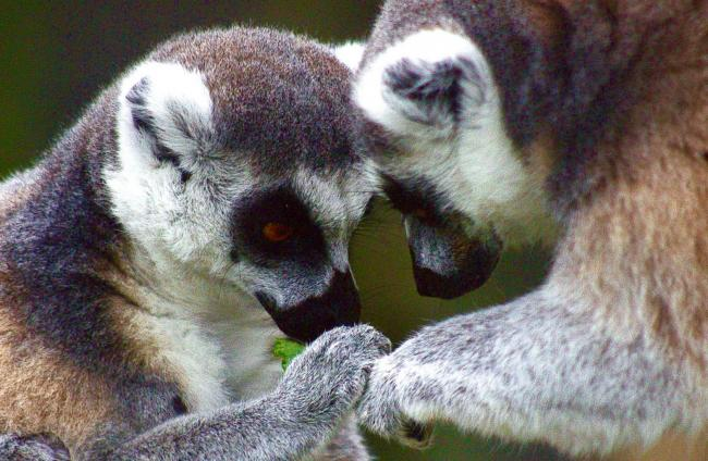 LOVED: The ring-tailed lemurs at Tropiquaria enjoy some donated celery
