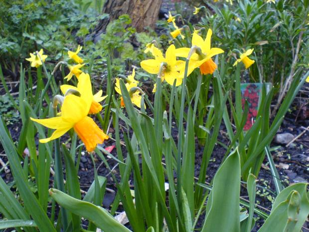 Council hands out daffodils to community groups