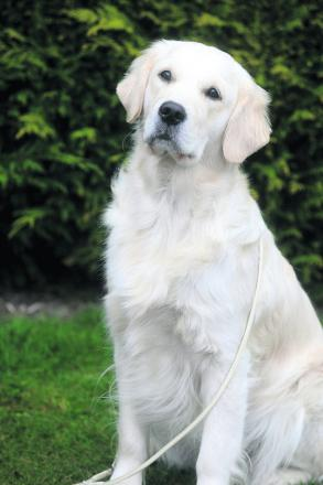 Dog helps save owner's life through emergency 'call' to Taunton