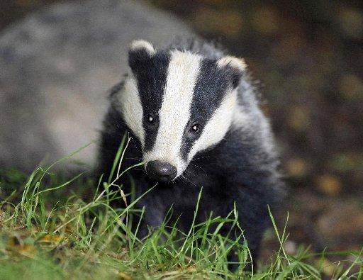 Secret World support badger cull court appeal