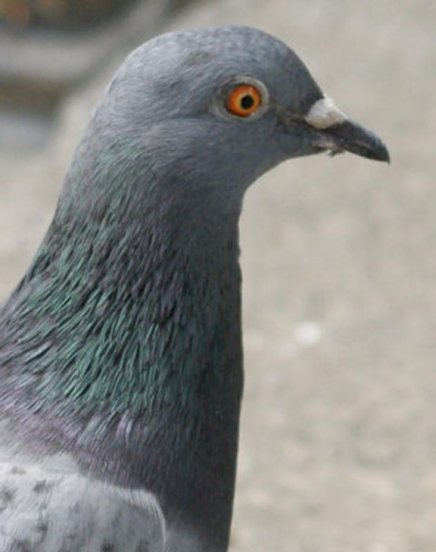 Pigeon netting under bridge collapses