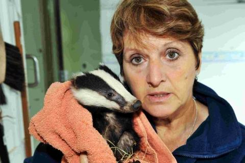 Pauline Kidner with a rescued badger