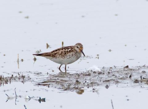 Rare white-rumped sandpiper. Photo: Tim Taylor