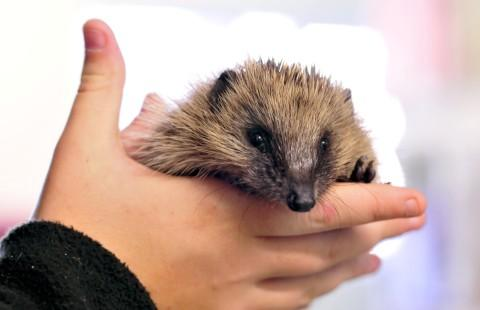 Secret World appeals for hedgehog help
