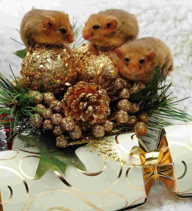 The rescued dormice are now safe and well and feeling festive. PHOTO: Victoria Hillman