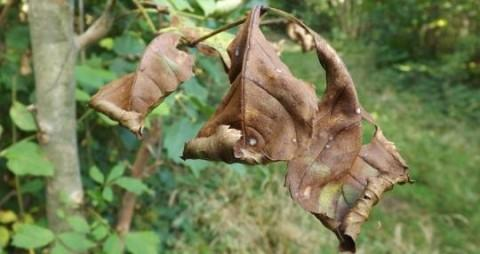 An ash dieback diseased leaf.
