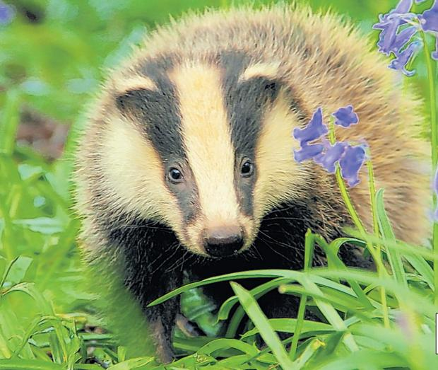 Cost of policing badger culls in Somerset and Gloucestershire revealed