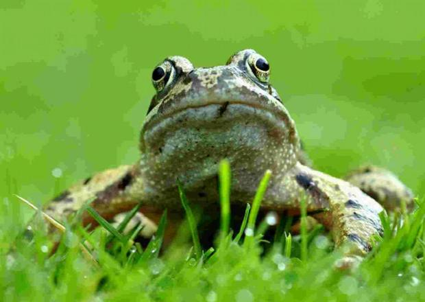 This is The West Country: Frogs in your garden?