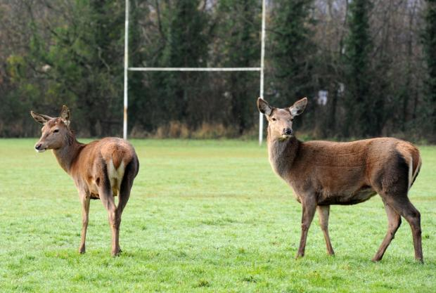 This is The West Country: The deer at Richard Huish College.