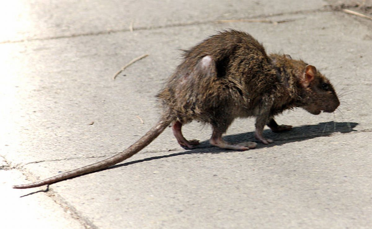 Cannibal rats invading Cornish beaches.... not likely