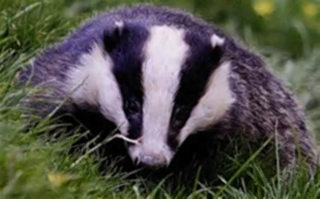South Somerset Badger Protection group hits back