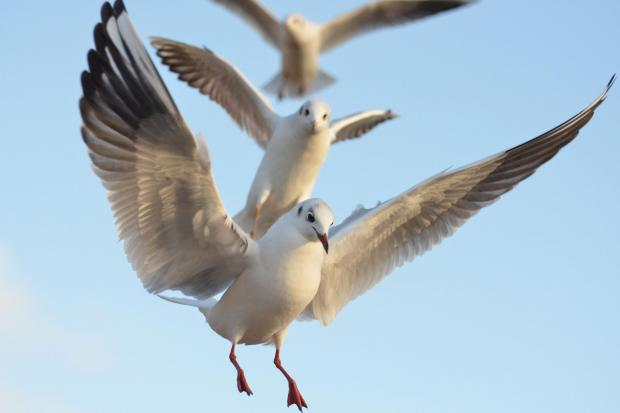 Humane solutions to nuisance gulls