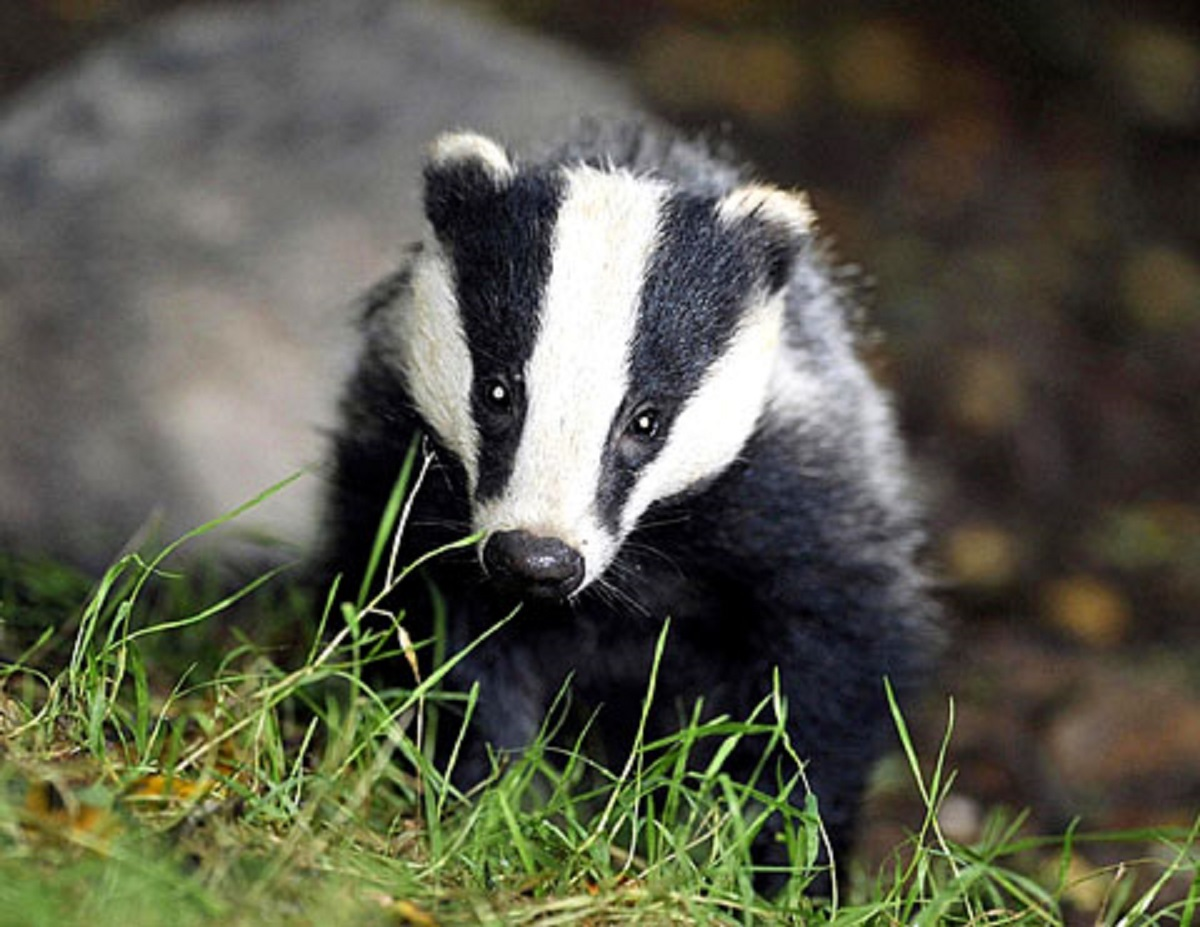 Calls for badger vaccinations as MPs vote to halt West Somerset cull