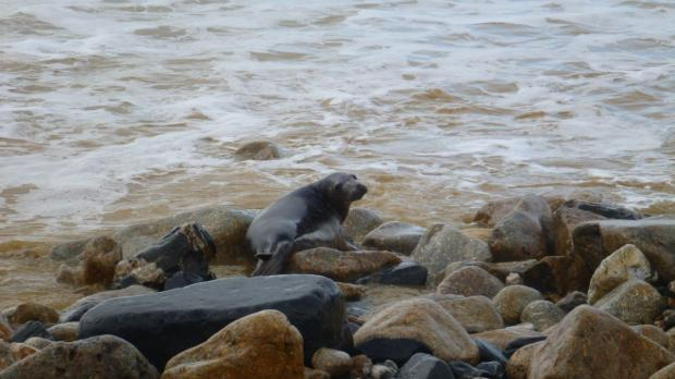 Rescued seals released back into the sea: PICTURES