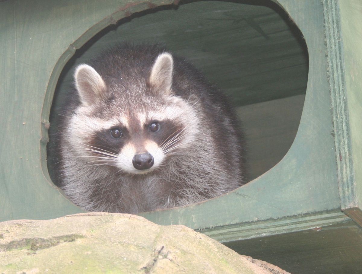 MISSY the raccoon was found sleeping in a disused building space behind her enclosure. PHOTO: Chris Mosier.