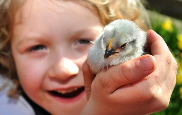 Easter chick hunt for children in Chard
