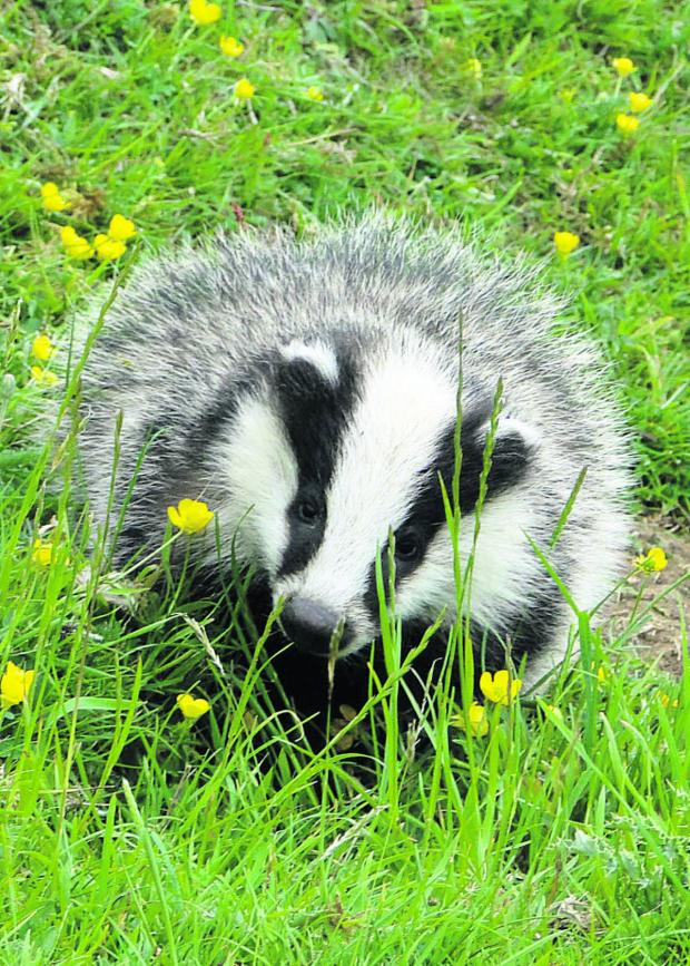 This is The West Country: Cost of policing badger cull in Somerset revealed
