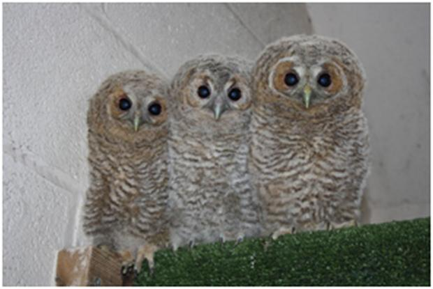 RSPCA West Hatch Wildlife Centre caring for 28 tawny owls