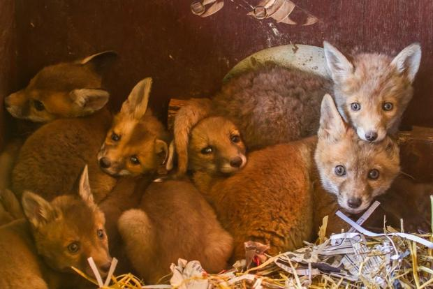 Baby foxes rescued at Secret World