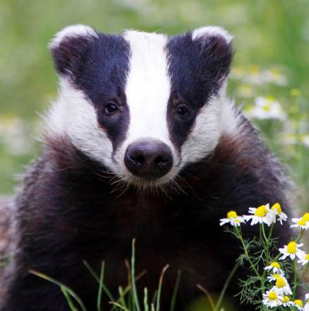 Badger Trust says statistics show TB could be eradicated without culls