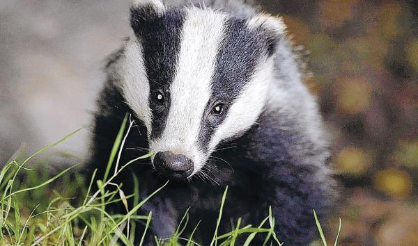 NFU won't be present in police control room during badger culls, Avon and Somerset Police confirm