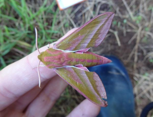 'Fal-moth' study needs your help