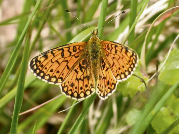 Butterfly and moth walk to be held on the Quantocks