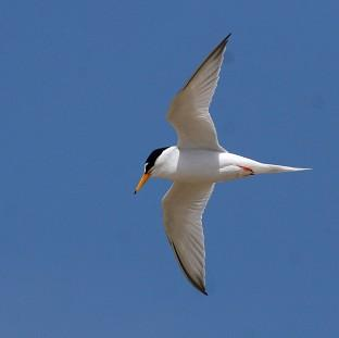 Little terns have been badly affected by recent severe weather conditions,