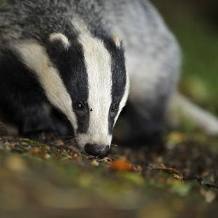 The Badger Trust sought a court ruling to bl