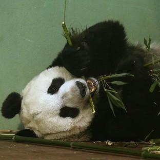 Experts at Edinburgh Zoo said Tian Tian should have gone into labour over the weekend but hormone tests suggested 'something might be amiss