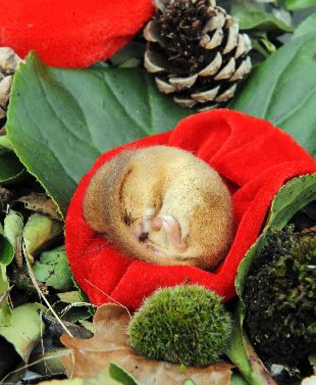 EXCLUSIVE: Police called over Secret World dormouse