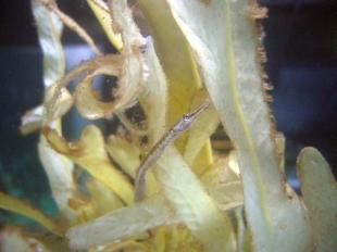 This is The West Country: Pipe fish at Newquay aquarium give birth