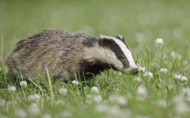 A badger. Picture by Andrew Mason