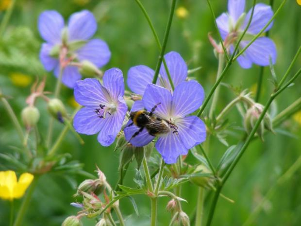 This is The West Country: Bee decline in Cornwall shows pollinators face perfect storm, says charity