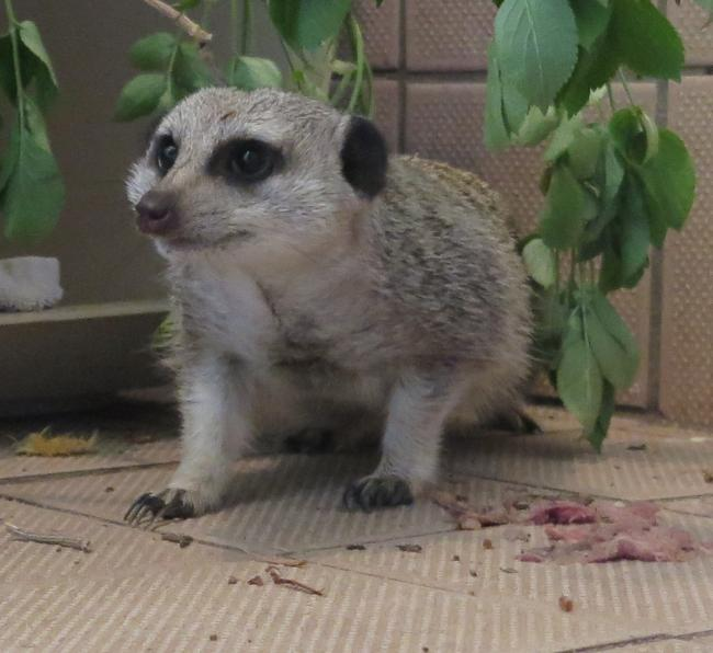 RESCUED: The meerkat receiving treatment at Secret World Wildlife Rescue